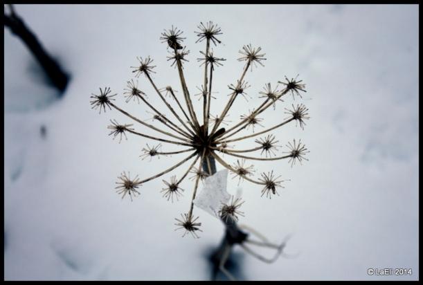fiore neve